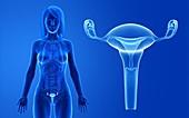 Female uterus, illustration