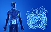 Male small intestine, illustration