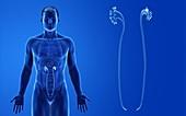 Male ureters, illustration