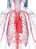 Healthy female vascular system, illustration