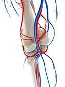 Blood vessels of the knee, illustration