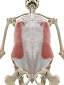 External oblique abdominal muscle, illustration