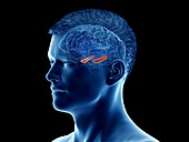 Hippocampus of the brain, illustration
