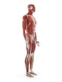 Human muscle system, illustration
