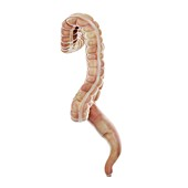 Large intestine, illustration