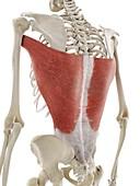 Latissimus dorsi muscle, illustration