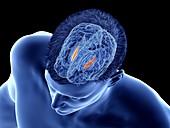 Medial globus pallidus of the brain, illustration