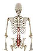 Multifidus muscle, illustration