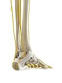 Nerves of the foot, illustration