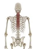 Semispinalis thoracis muscle, illustration