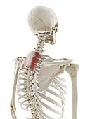 Serratus posterior superior muscle, illustration