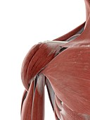Shoulder muscle, illustration
