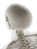 Skull , illustration