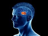Thalamus of the brain, illustration