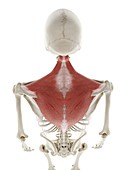 Trapezius muscle, illustration