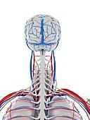 Vascular system of the brain, illustration