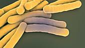 Tuberculosis bacteria, illustration