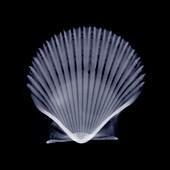 Scallop, X-ray