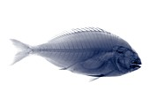 Tilapia fish, X-ray