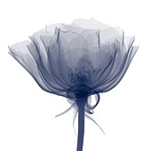 Rose (Rosa sp.), X-ray