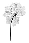 Cranesbill leaf, (Geranium sp.), X-ray