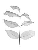 Mountain ash (Sorbus rosaceae), X-ray