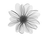 Michaelmas daisy (Aster amellus) flower head, X-ray