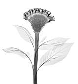 Cockscomb (Celosia cristata), X-ray
