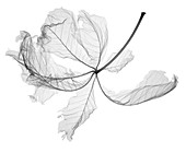 Decaying autumn chestnut (Castanea sp.) leaf, X-ray