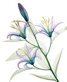 Oriental stargazer lily (Lilium sp.), coloured X-ray