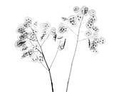 Honesty (Lunaria sp.), X-ray
