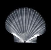 Scallop (Chlamys multistriata), X-ray