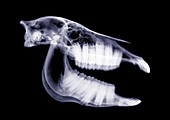 Horse skull, X-ray