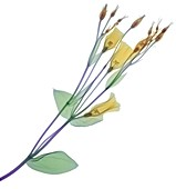 Branch with multiple yellow flowers and buds, X-ray