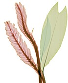 Magenta and green leaves, X-ray