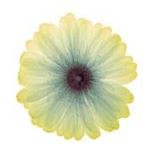 Yellow flower, X-ray