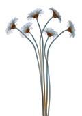 Bundle of daisies, X-ray