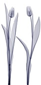 Two tulips, X-ray