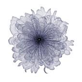 Carnation, X-ray