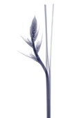 Flower bud and stem, X-ray