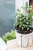 Bay leaf plant in a pot on a wooden crate