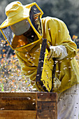 Bee keeper inspecting hive