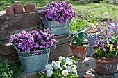 Nelken 'Big Touch' in Zink-Jardinieren, Hornveilchen und Stiefmütterchen