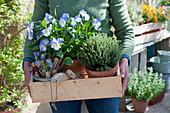 Frau trägt Holzkiste mit Hornveilchen 'Blue Moon' und Thymian, Utensilien zum pflanzen