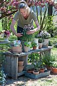 Schnittlauch, Hornveilchen und Jungpflanzen von Kapuzinerkresse, Tomaten und Paprika, Frau schneidet die Blüten vom Schnittlauch
