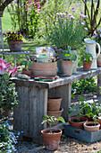 Blühender Schnittlauch und Jungpflanzen von Kapuzinerkresse, Tomaten und Paprika