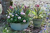 Tulpen 'Toplips', Tausendschön und Vergißmeinnicht in Blech-Schale und Holzeimerchen