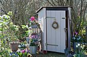 Töpfe mit Hyazinthen, Tulpen, Traubenhyazinthen, Moossteinbrech und Hornveilchen am Gerätehaus, Regal aus Holzkisten