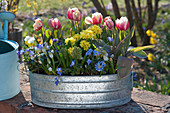 Tulpen 'Toplips', Schlüsselblumen, Strahlenanemone, Traubenhyazinthen und Hornveilchen in Zink-Jardiniere
