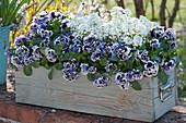 Holzkasten mit Stiefmütterchen Ruffles 'Purple White Rim' und Schleifenblume 'Snowball'